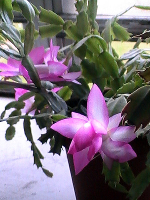 christmas-cactus-bloom2