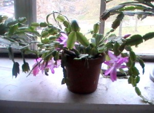 Feb. 28th--This bright pink Christmas cactus is just going strong.  No blossom has even dropped off since they started opening more than a week ago.
