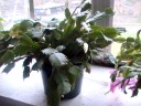 Feb. 28th--The yellow one has some buds too.  They are much slower to open than the others.
