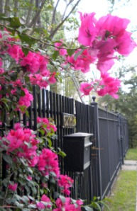 Bougainvillea and a Mailbox