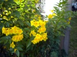 Bright Yellow Trumpets
