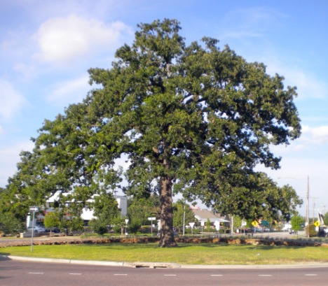 The Majestic Oak Tree Shading the WOW Roundabout