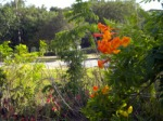 Orange Trumpets Along the Road With the Park Behind