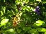 Tiny Purple Flowers with Seed Pods Like Miniature Bananas