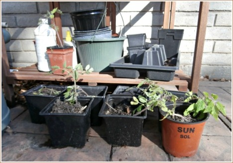 These volunteer tomato plants are trying to get acclimated to pots after being plucked  from their crowded space in the garden.