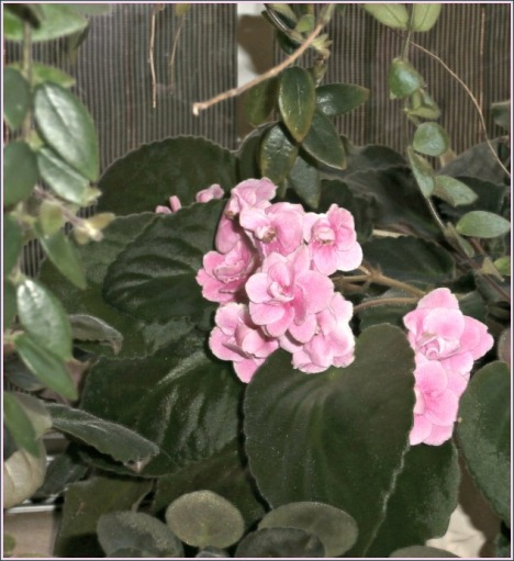 Now that I've gotten the plants in the bay window cleaned up, this pink African violet can peek back into the kitchen.