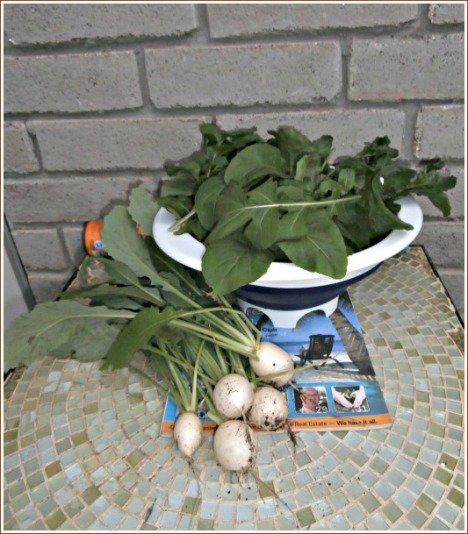 The evening's garden pickings--a batch of lettuce and several crunchy Hakurei turnips.