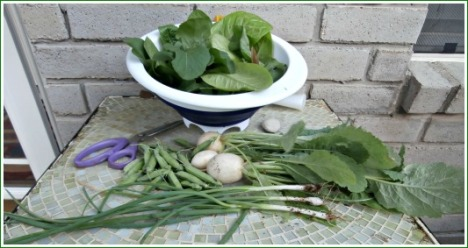 Another evening's garden pickings: lettuce, peas, turnips, and a few green onions.
