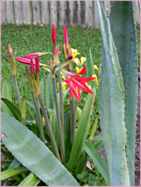 The first amaryllis to open sings a spring song and is backed up by a chorus of bright day lilies.