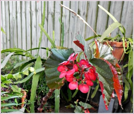 This angel-wing begonia brightens up the patio year after year.
