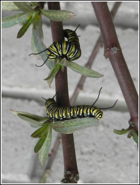 The milkweed plants in the sunny south flour bed made it through the cold days, but now their leaves are being devoured by a hoard of monarch caterpillars.
